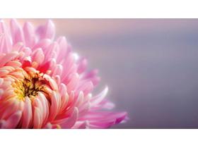 盛开的菊花幻灯片背景图片