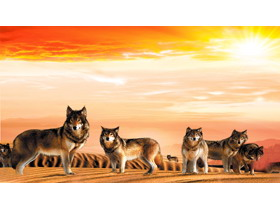 沙漠狼群PPT背景图片