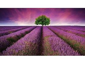 紫色唯美薰衣草幻�羝�背景�D片