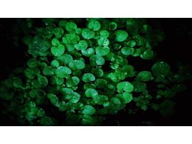 绿色香菇草叶子PPT背景图