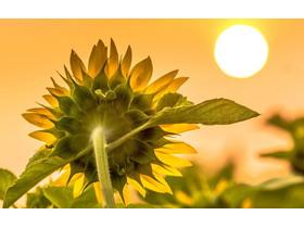 8��向日葵草地花朵PPT背景�D片