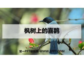 《枫树上的喜鹊》PPT教学课件