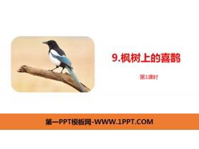 《枫树上的喜鹊》PPT课件(第1课时)
