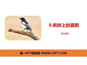 《枫树上的喜鹊》PPT课件(第2课时)