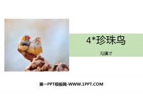 《珍珠鸟》PPT精品课件