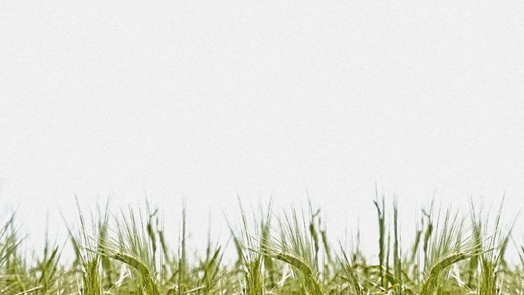 三张麦穗PPT背景图片